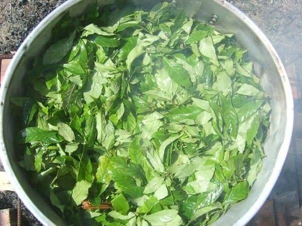 Ayahuasca Plant Medicine Ready to Cook